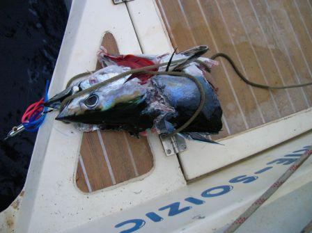 C'est tout ce qui reste de la prise, un requin a gobé le thon pris a l'hamecon